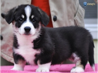puppies_ponka_simon_male1