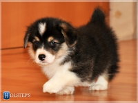 puppies_simon_zlatka_tricolor1