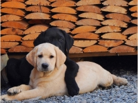 puppies_lola_achilles6