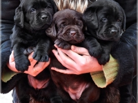 puppies_boris