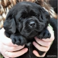 puppies_boris1