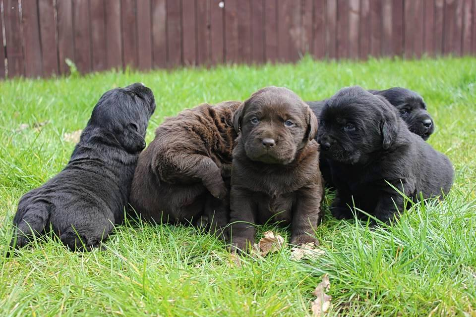 Puppies labrador