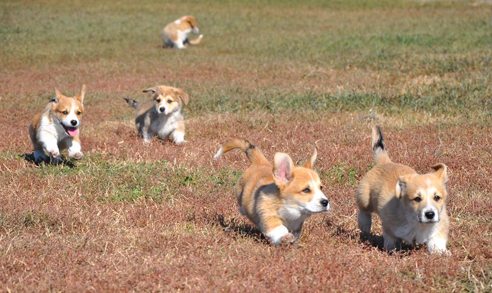 Holsteps corgi 4