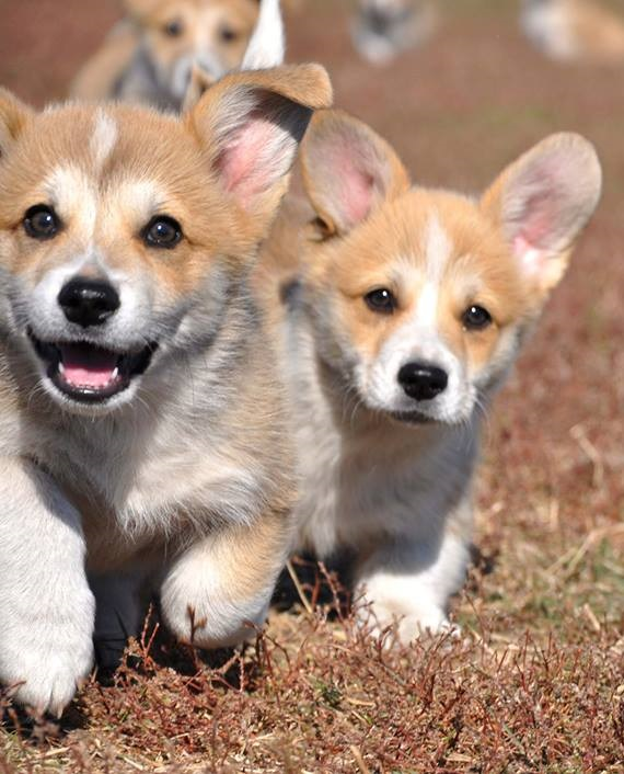 Holsteps corgi 8