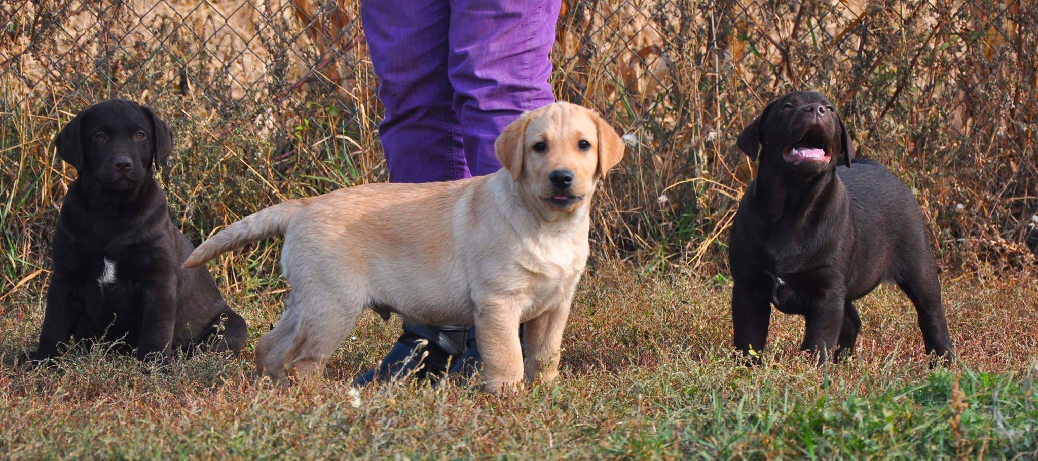 puppies labrador1