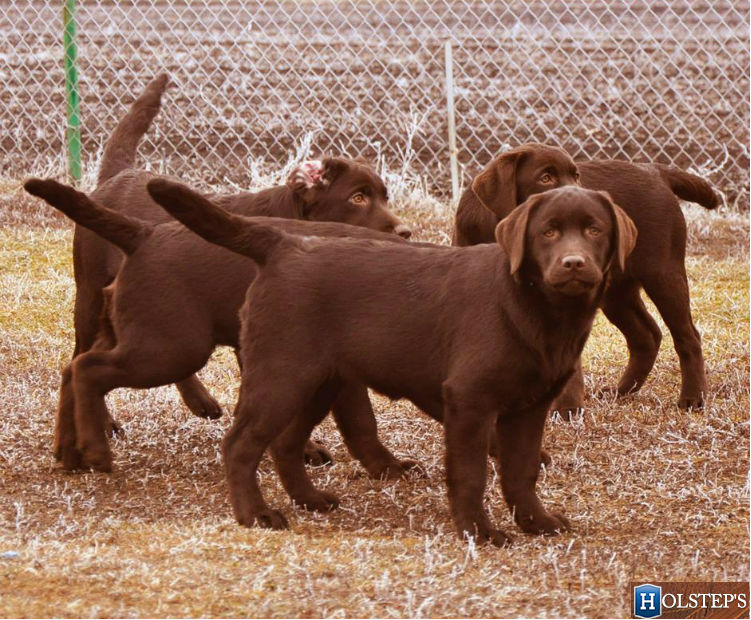 puppies Holsteps